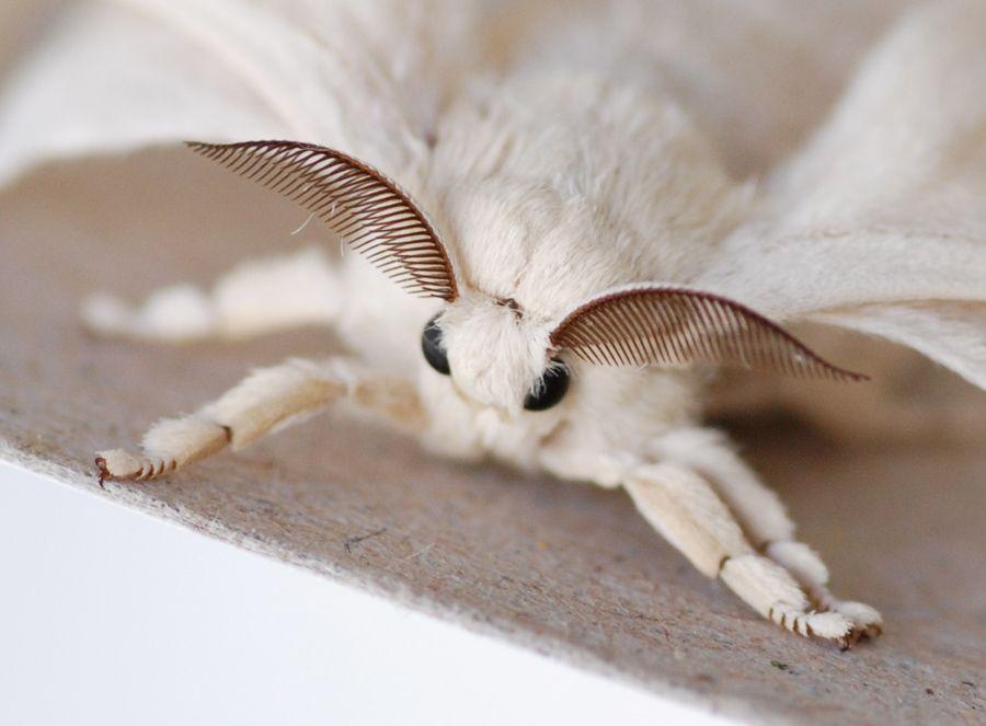 polilla de la seda